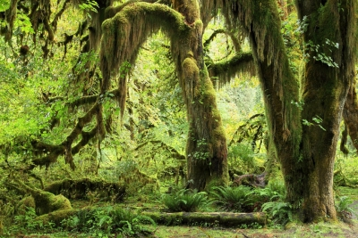 moss-covered-trees-hoh-rainforest-olympic-0277